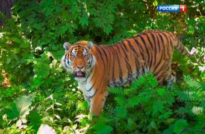 Амурский тигр - Путь к священной горе
